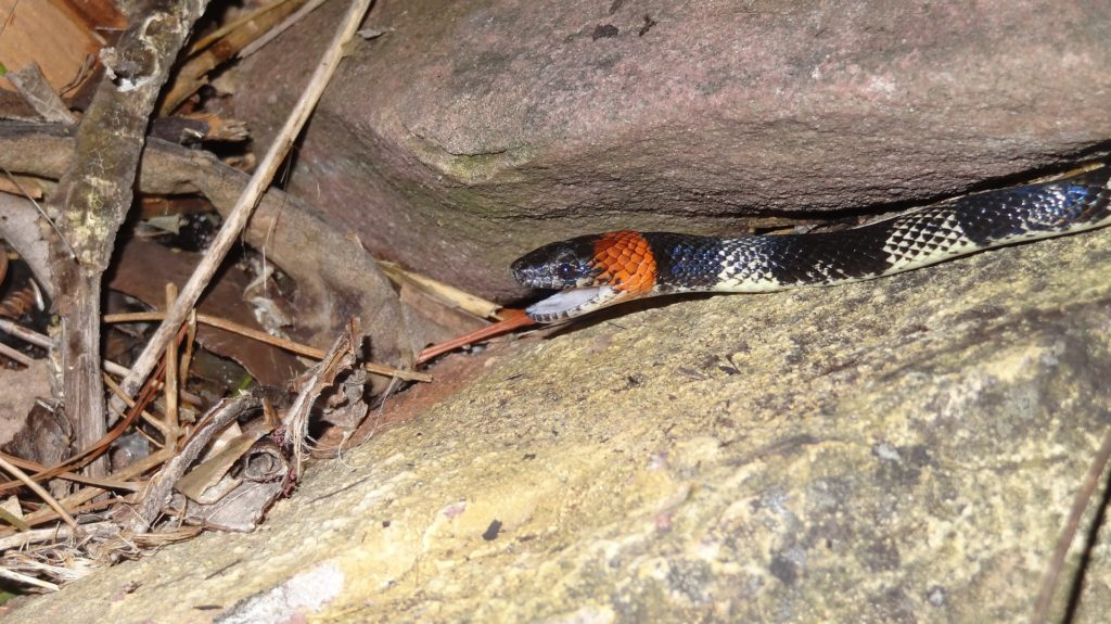 serpientes-sin-veneno