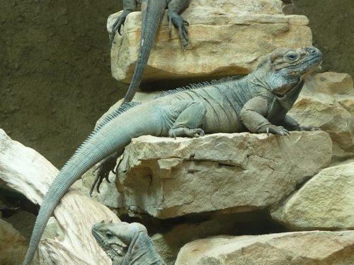 iguana-rinoceronte