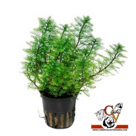 myriophyllum mattogrossense verde