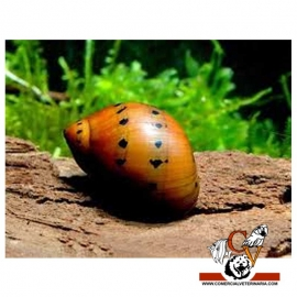 Caracol Neritina RED SPOTED