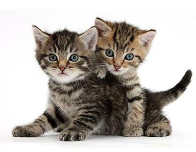 comprar gatos